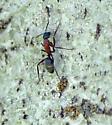 Camponotus vicinus?  - Camponotus vicinus