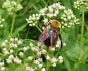 Bumblebee - Xylocopa virginica