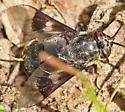 Deer Fly (Chrysops) - Chrysops