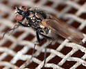muscid fly - Hebecnema - female