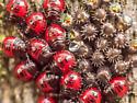 Stink bug hatchlings - Podisus