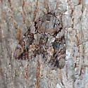 Moth - Catocala agrippina