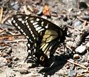 Anise Swallowtail - Papilio zelicaon - male