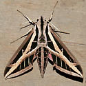 Eumorpha fasciatus  - Eumorpha fasciatus