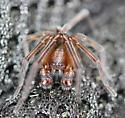 Araneae - Amaurobius ferox - male