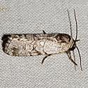 Moth unknown - Sympistis sectilis