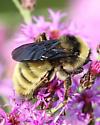 Bumble Bee With Orange Tip on Butt - Bombus pensylvanicus