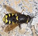 Soldier fly from Southwest Oregon - Stratiomys melastoma - male