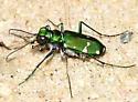 Barrens Tiger Beetle - Cicindela patruela - male