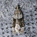 Eudonia spenceri - Hodges # 4730 - Eudonia spenceri