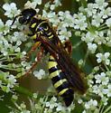 Scollid? - Myzinum quinquecinctum - female