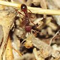Slave raiding ant? - Tetramorium hispidum