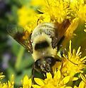 Bumble Bee mimic 1 - Eristalis flavipes