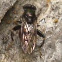 Red and Black Wood Eating Syphrid - Chalcosyrphus libo