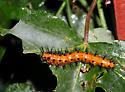 Gulf Fritillary Larva - Agraulis vanillae