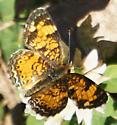 Nymphalidae - Phyciodes tharos