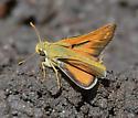 Common Branded Skipper - Hesperia comma - male