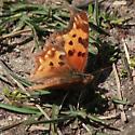 Nymphalidae: Polygonia satyrus - Polygonia satyrus