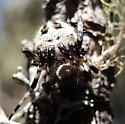 Lichen spider 1 - Araneus nordmanni