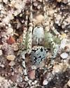 Lichen Orb Spider? - Eustala anastera