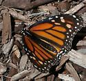 Adult monarch? - Danaus plexippus