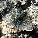 The Tundra Moth - Metaxmeste nubicola