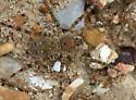 Arctosa littoralis? - Arctosa littoralis