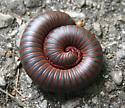 Millipede - Narceus americanus-annularis-complex