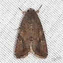 Noctuid Moth - Spodoptera frugiperda - female