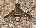 Bee Fly like Poecilanthrax - Exoprosopa