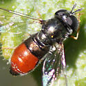 Paragus female, but relatively large - Paragus haemorrhous - female