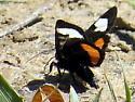Help identify butterfly / moth - Psychomorpha epimenis
