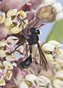 Wasp - Physocephala tibialis