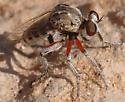 Hodophylax aridus - male