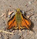 Skipper species? - Ochlodes sylvanoides