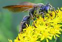green-eyed wasp Tachytes sp.? - Tachytes