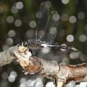 Red-waisted Whiteface - Leucorrhinia proxima - male