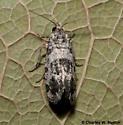 Moth - Rudenia leguminana