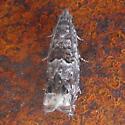 Tort - Epinotia albangulana