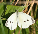 Cabbage White, a white butterfly with grey spots - Pieris rapae - female