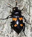 Black & orange beetle w/parasites - Nicrophorus orbicollis