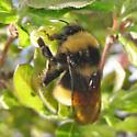Large Bee - Bombus terricola