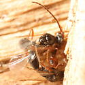 Wasps mating on pile of wood chips - Belyta - male - female