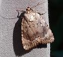 moth - Amphipyra pyramidoides