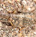 Crackling Forest Grasshopper - Circotettix rabula