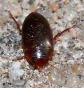 Beetle - Copelatus