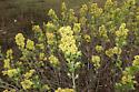 Haploa host plant - Haploa