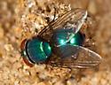 Blue-green blowfly - Lucilia mexicana