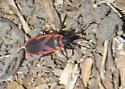 Lygaeid bug - Scantius aegyptius