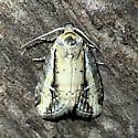 Unknown moth - Acrapex relicta
